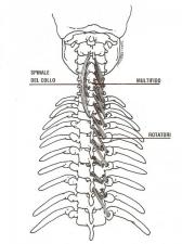 Spinale rotatori multifido