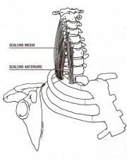 Scaleni anteriore e medio