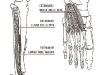 Estensori delle dita
