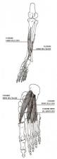 Flessori delle dita